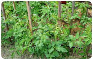 Hasznos kertészeti tippek csalánról